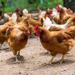 دوره پرورش مرغ بومی