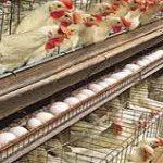 دوره آیین کار بهداشتی و فنی مرغداریهای صنعتی 3484